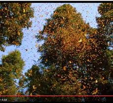 Millions of Butterflies