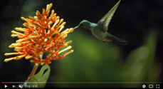Humming Bird Pollination