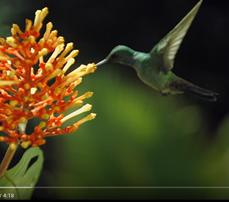Humming Bird Pollination
