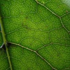 coprosma-grandifolia