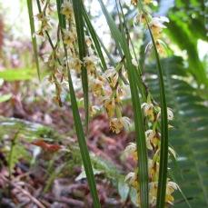 native-epiphytic-orchid-earina-mucronata