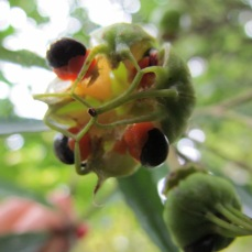 tawari-seeds